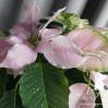 Пуансеттия (Рождественская звезда) розовая