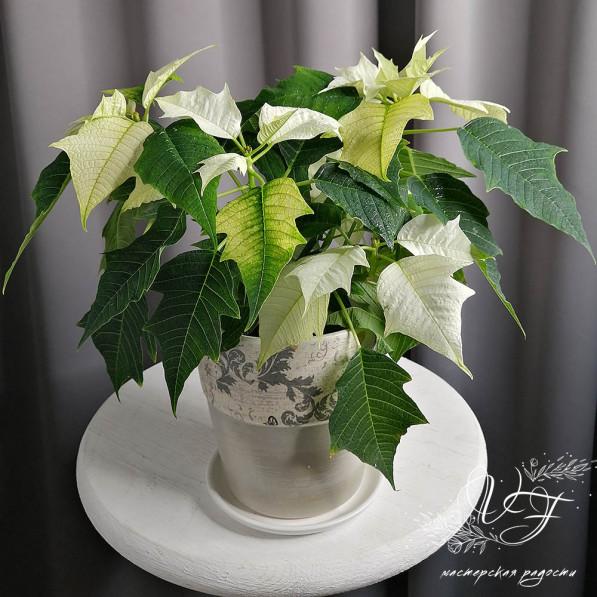Пуансеттия (Рождественская звезда) белая
